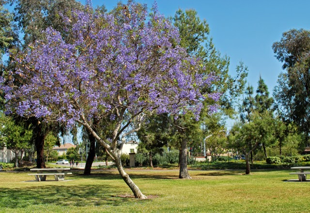 """Jacaranda Tree of Southern California 