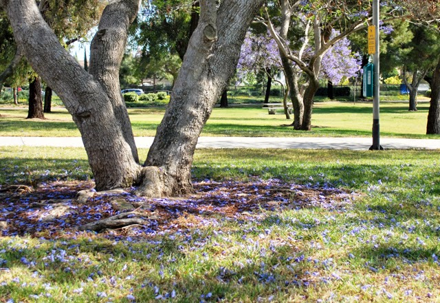 "Jacaranda Tree of Southern California | Em Busy Living ""This Was All Just Temporary"""